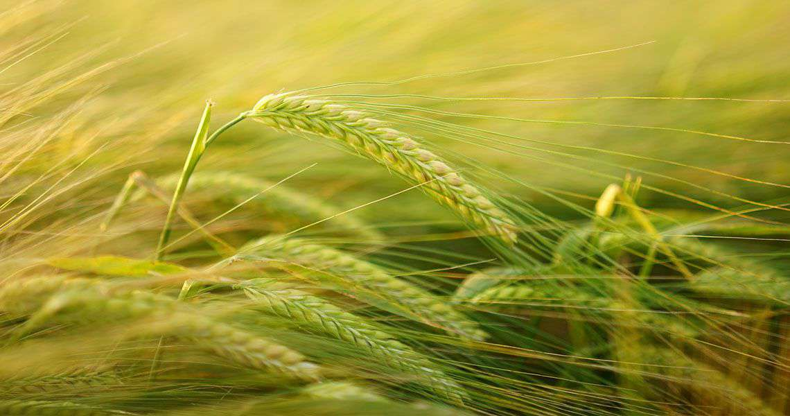 Barley: The Complete Food